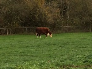 """At the Double Four Tree Farm, Uncle Bob has roamed the fields for 88 years – give him a """"Moooo!"""""""