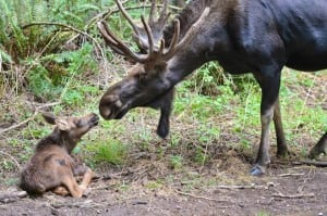 """From the three names put up to a vote, the public elected """"Willow"""" as the name for Northwest Trek's newest family member."""