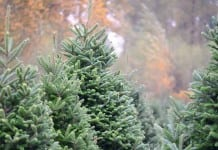Tacoma Christmas tree farm