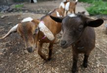 Chantilly Farms Baby Goats
