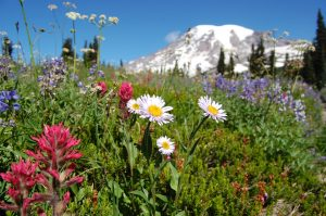 Mount Rainier Wild Flowers