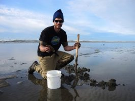 Digging razor clams