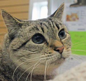 Moomoo is this week's featured pet. Photo courtesy: Humane Society for Tacoma and Pierce County.