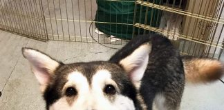 Featured Pet Balto #A513945