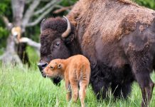 Bison and calf kiss