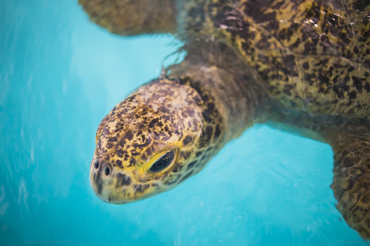 Two Green Sea Turtle Now Reside At Point Defiance Zoo Aquarium Southsoundtalk