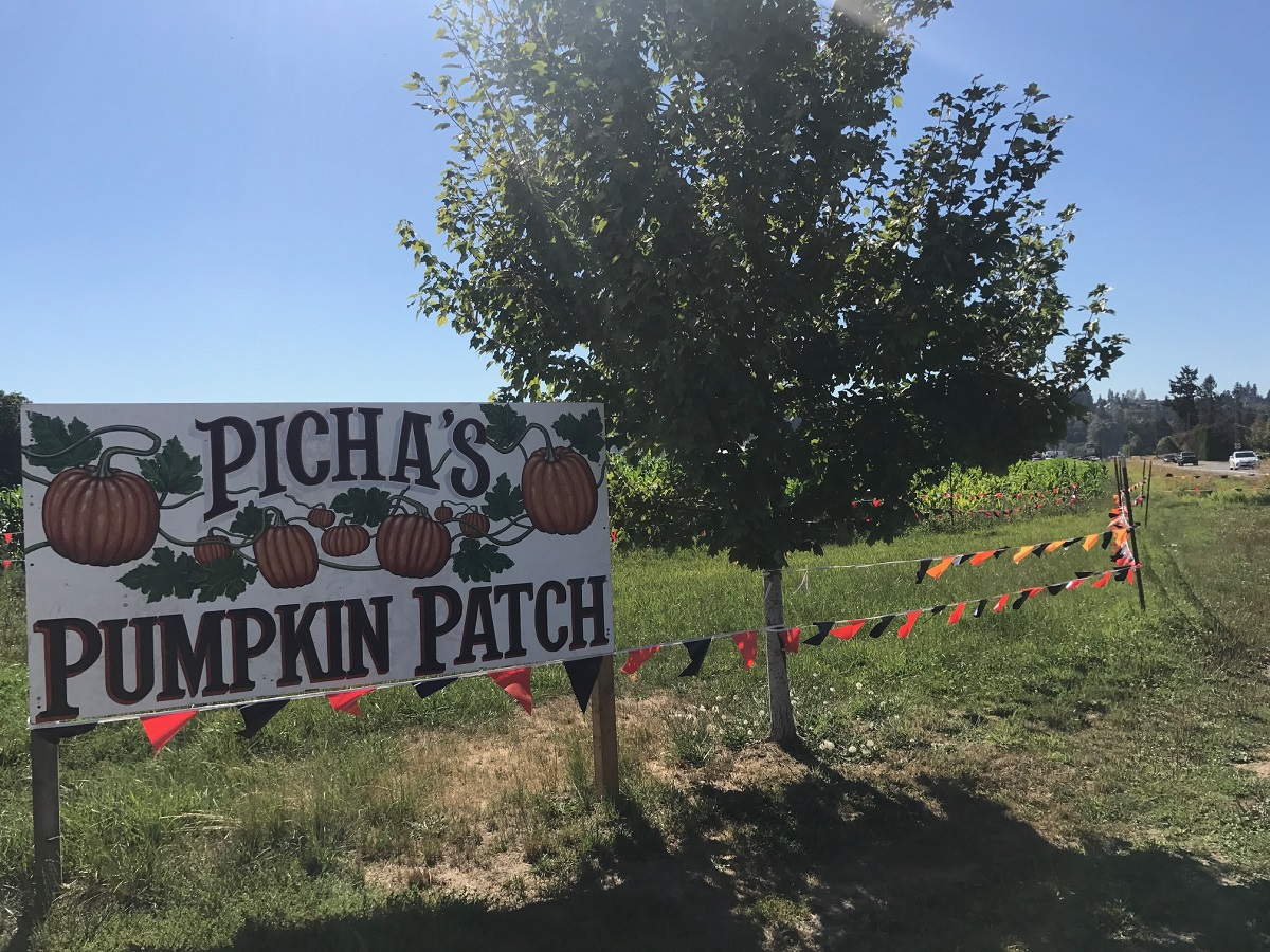 South Sound Pumpkin Patches Picha Farms