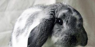 The Humane Society for Tacoma & Pierce County Featured Pet Bun Bun
