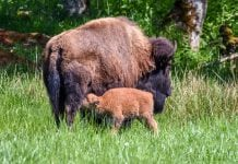 Northwest Trek Bison Babies