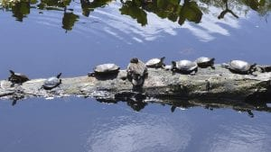 Turtles at Snake Lake