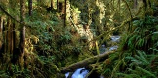 Rainforest in Quinault