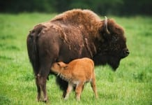 Bison calves, Northwest Trek.
