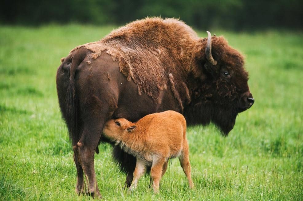 Bison calves, Northwest Trek.