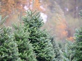 Tacoma Christmas tree farm