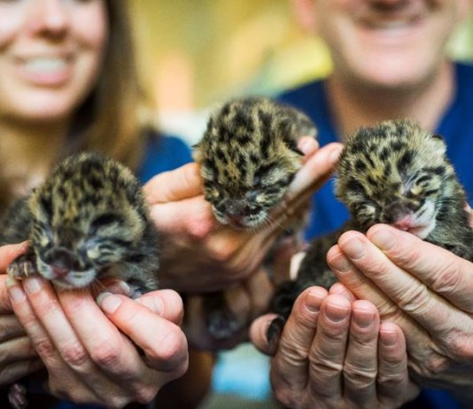 Point Defiance Zoo and Aquarium clouded leopard cubs
