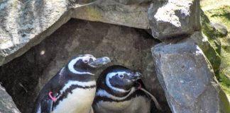 PDZA Penguins