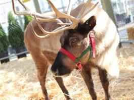 Watson's Nursery Reindeer