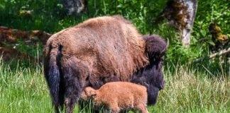 Northwest Trek Bison Babies