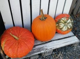 Pierce County Pumpkin Patches