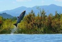 Salmon jumping