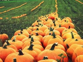 Pumpkin Patches and Corn Mazes in Pierce County