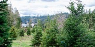 U cut Christmas tree farms