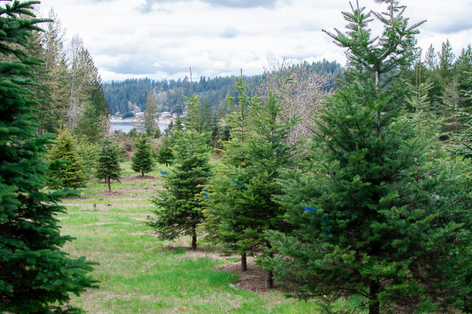 Ucut Christmas Trees 2020 U Cut Farms and Awesome Lots: Where to Get a Christmas Tree in